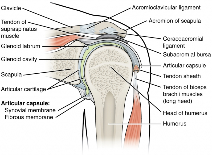 Shoulder Anatomy Bursa Rotator Cuff Syndrome Health Panel Thevisualmd